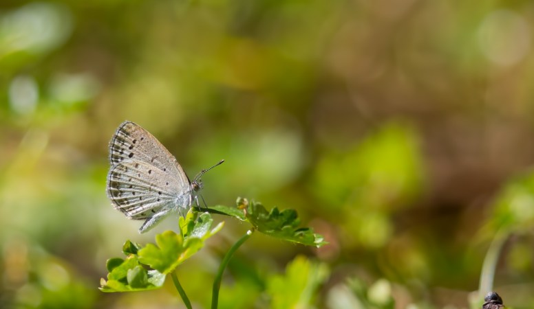 Common Name : Pale Grass Blue ; Scientific Name : Pseudozizeeria maha ; Chinese Name : 酢酱灰蝶 / Cù jiàng huī dié ; Location : XiaoYangshan, Zhejiang