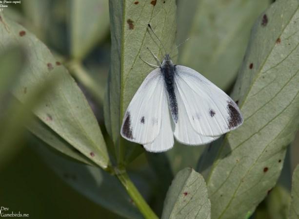 Common Name : Small White ; Scientific Name : Pieris rapae ; Chinese Name : 菜粉蝶 / Cài fěndié ; Location : Shanghai