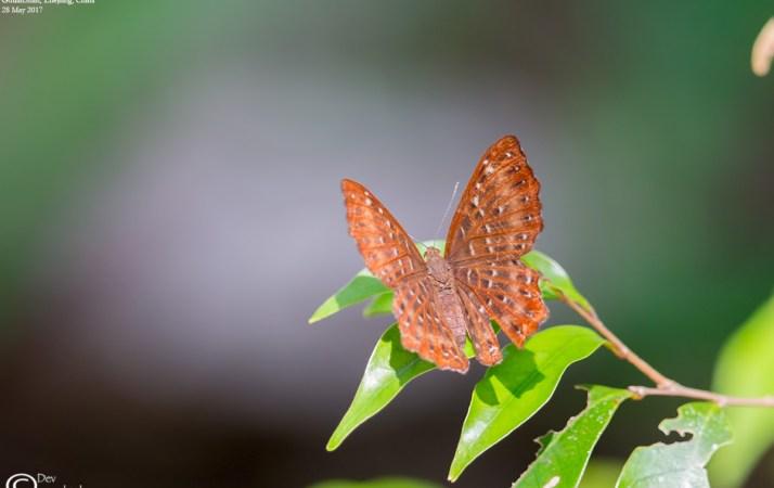 Common Name : Punchinello ; Scientific Name : Zemeros flegyas ; Chinese Name : 波蚬蝶 / Bō xiǎn dié ; Location : GutianShan, Zhejiang