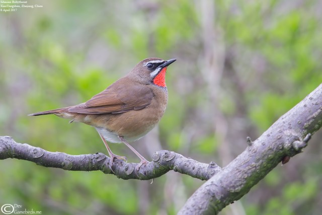 Siberian Rubythroat during spring migration
