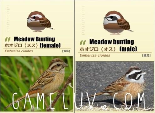 Meadowbuntingsetgl