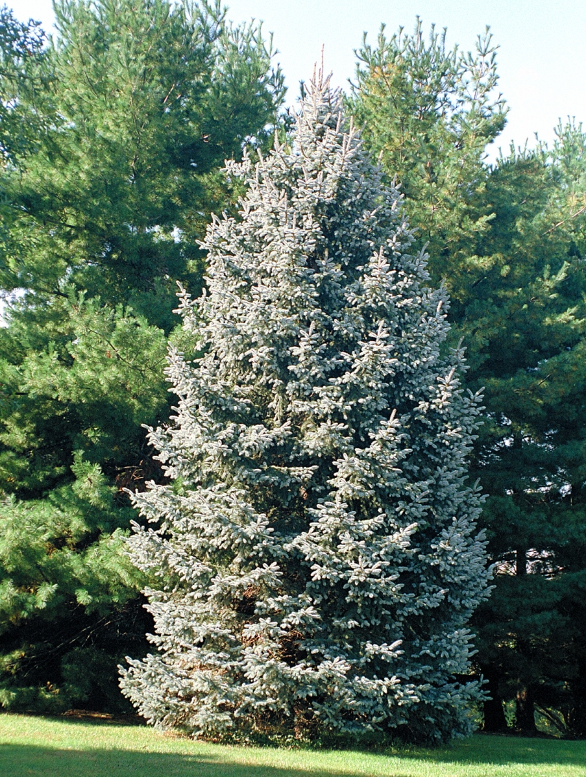 Spruce Gammons Garden Center Amp Landscape Nursery