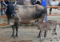 vaca con cuernos y un hijo ternero becerro