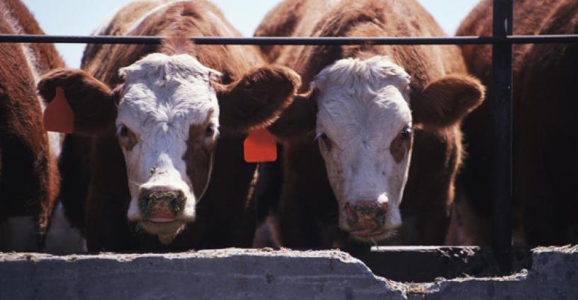 Brucelosis en ganado bovino