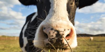 Qué causa la enfermedad de las vacas locas
