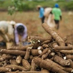 Mandioca desenvolvida na Bahia é mais produtiva