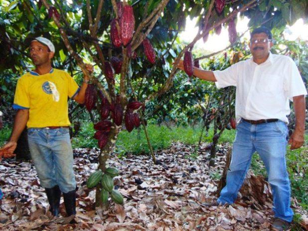 Cacau-sustent%C3%A1vel-%C3%A9-esperan%C3%A7a-para-salva%C3%A7%C3%A3o-da-lavoura-na-Bahia-e1511523991500 Governo da Bahia define novo modelo de cultivo do cacau cabruca