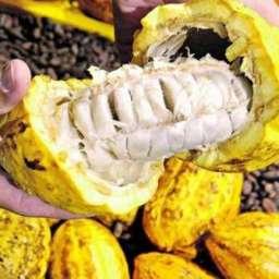 Cargill planeja eliminar desflorestamento de sua oferta de cacau