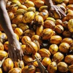 Índios brasileiros apostam em cacau especial, chamado de 'fruta dourada', para fazer chocolates finos