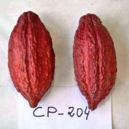 Pesquisa genética da CEPLAC garante viabilidade econômica do cacau