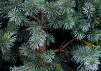 trees_ev_bl_spruce