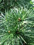 trees_ev_pine_2