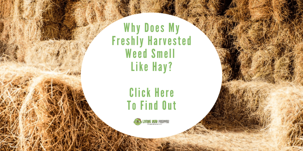How to Get Rid Of Hay Smelling Weed