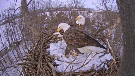 Now Showing Nesting PA Bald Eagles