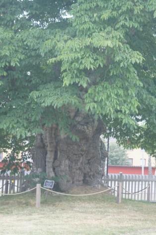 Limonadenbaum, Eiche, Astrid Lindgren Näs