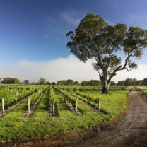 coonawarra vineyard