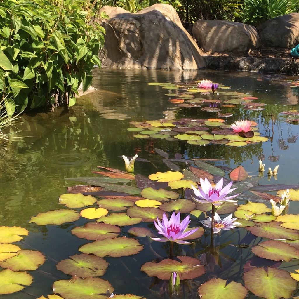 Koi Pond Design Pictures