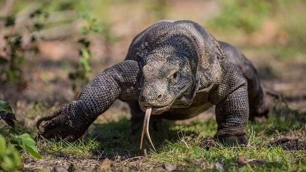 Pemprov NTT & Undana Kerjasama Prioritas Kelangsungan Hidup Komodo
