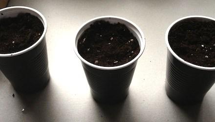 Kaffee pflanzen – die ersten Schritte