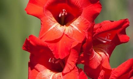 Tipps zum Anpflanzen von Gladiolen im Garten