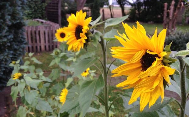 Offene Sonnenblumen