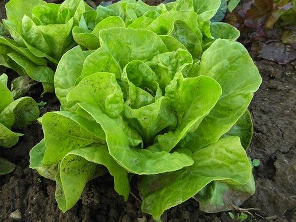Auch Kopfsalat gedeiht im Hochbeet.
