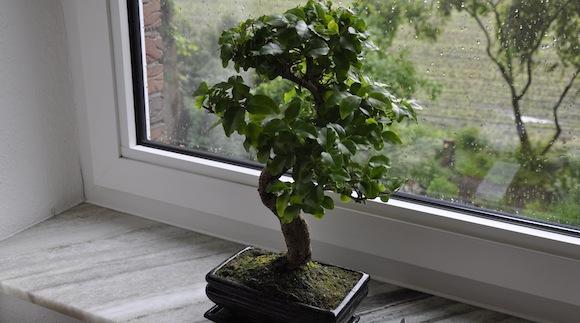 Der Liguster-Bonsai vor dem Blattschnitt.