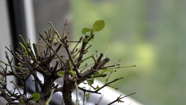 Mein Liguster-Bonsai 15 Tage nach dem Blattschnitt