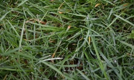 Rasen kalken – aber richtig