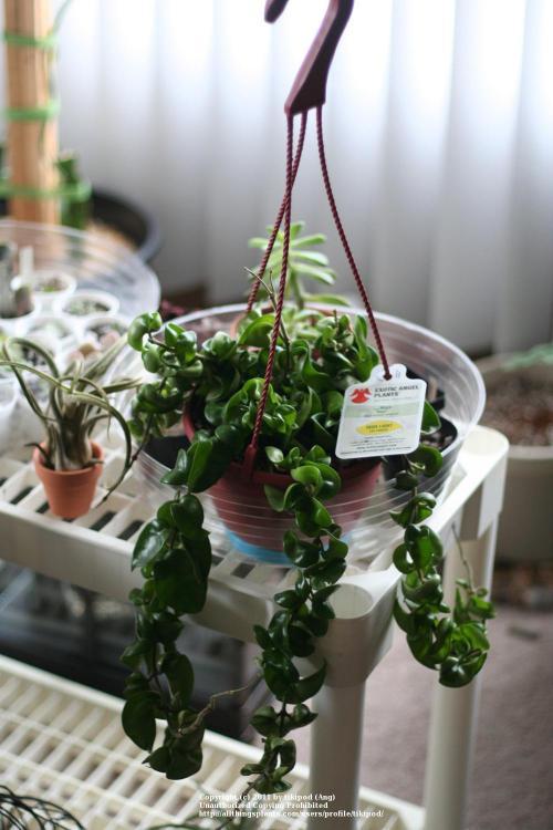 Hindu Rope Plant In Manly Houseplants Hoya From Lowes Hindu Rope