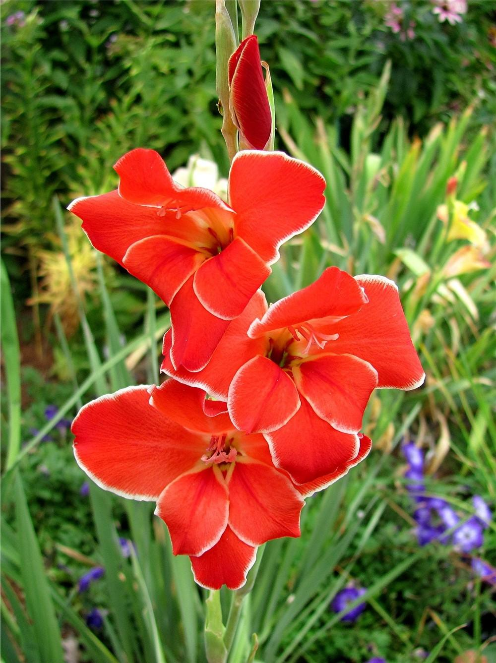 Gladiolus  Plant Care and Collection of Varieties   Garden org