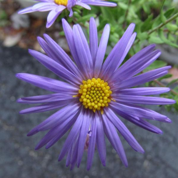 Asters  Plant Care and Collection of Varieties   Garden org Add or edit informational text about this plant