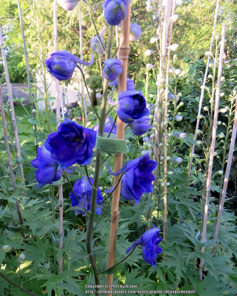 Staking Tall Delphiniums Garden Org