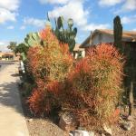 Cactus And Succulents Forum Firesticks A Two Faced Dude Garden Org