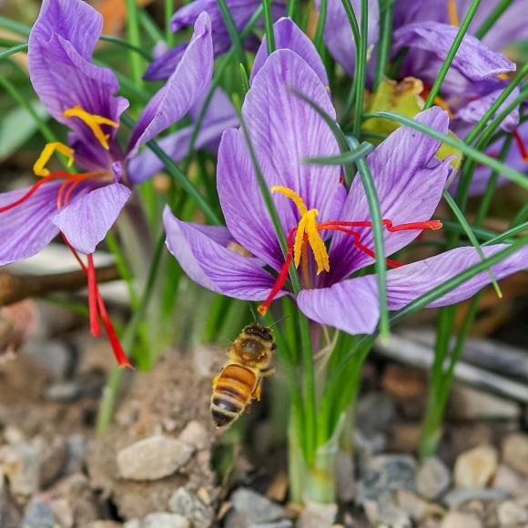 Photo of the bloom of Saffron Crocus (Crocus sativus ...