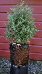 Not All Trees Shrubs The Same When It Comes To Planting Gardening