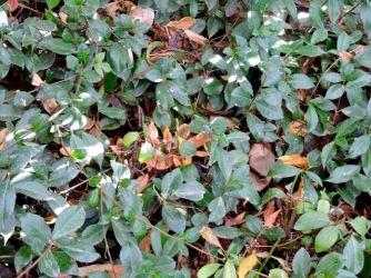 garden-greenery-jasmine3-1