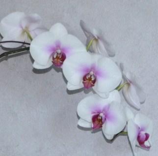 Phalaenopsis Mount Lip