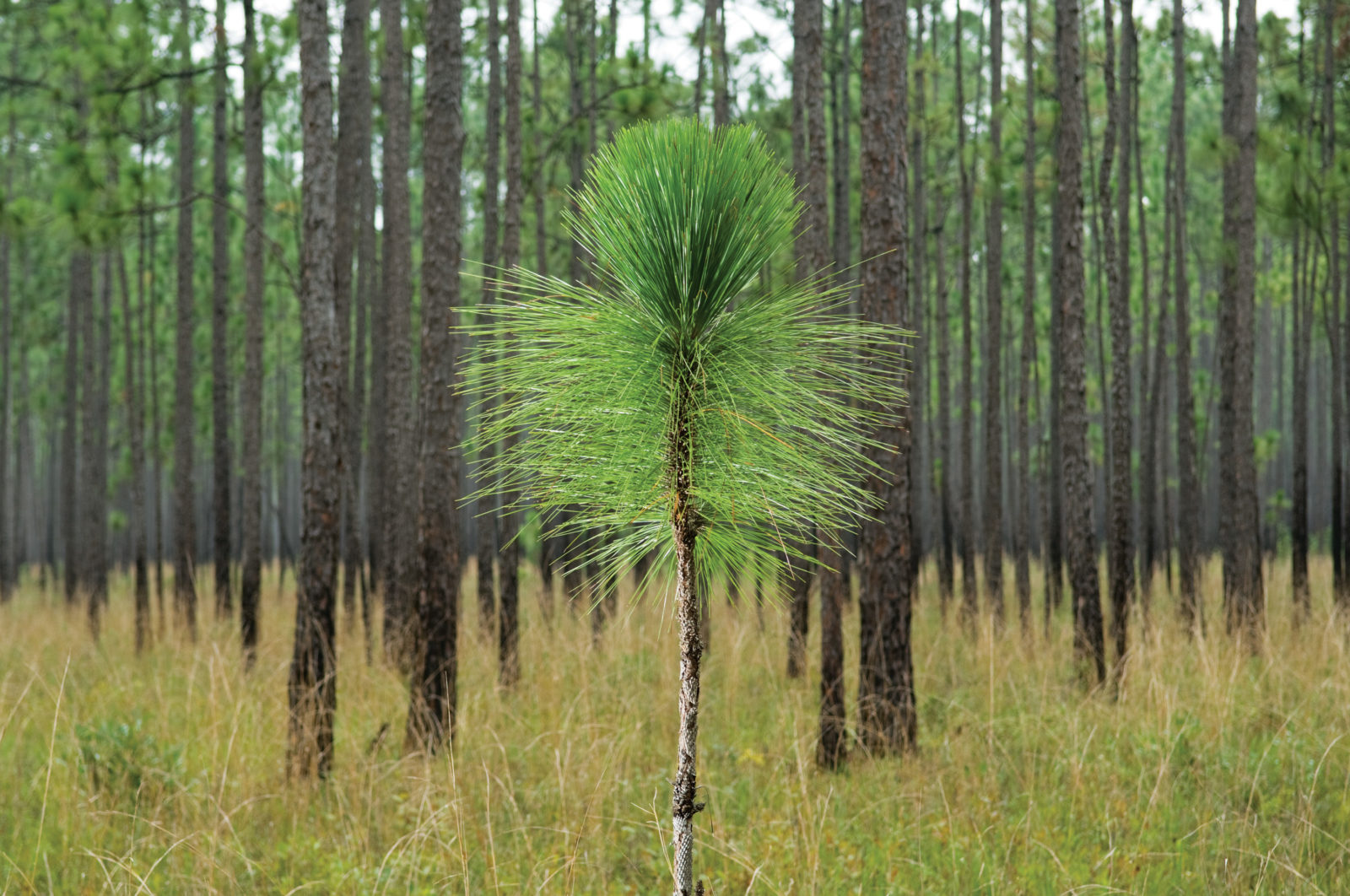 The Longleaf Pine Garden Amp Gun