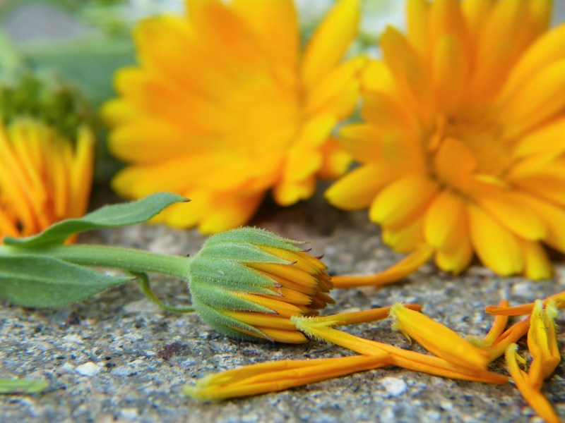 medicinal flowers, medicinal plants, herbal medicine, calendula, calendula officinalis