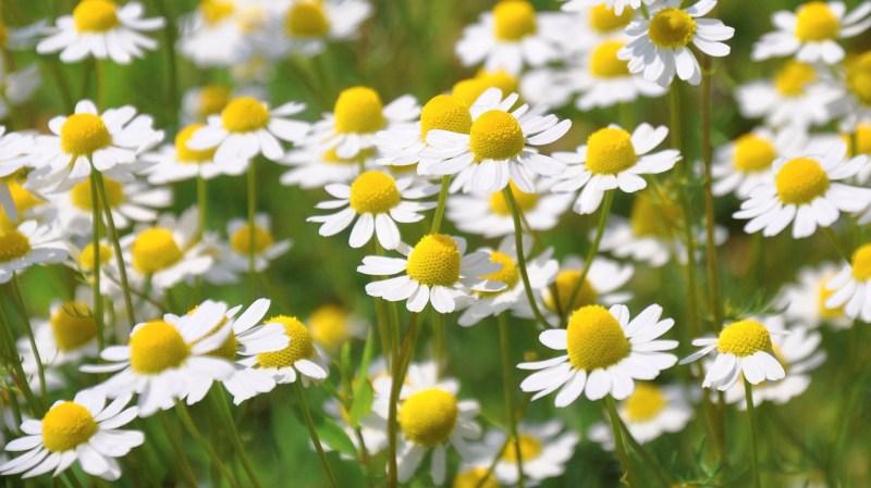 medicinal flowers, herbal medicine, chamomile, Matricaria chamomilla