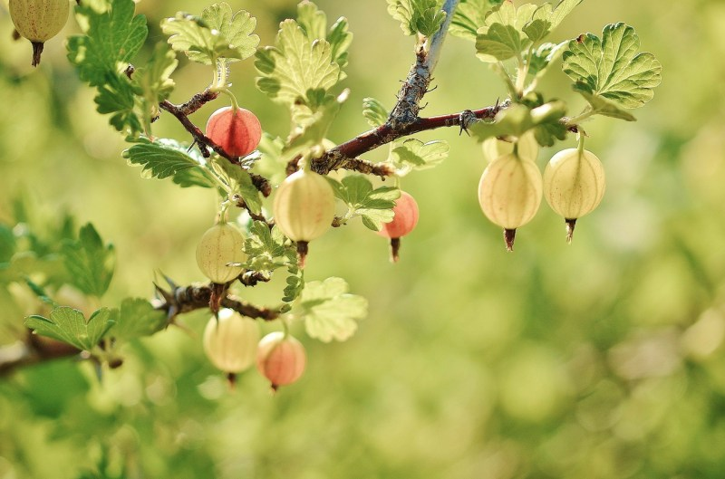 gooseberries, gooseberry, how to grow gooseberries, growing gooseberries