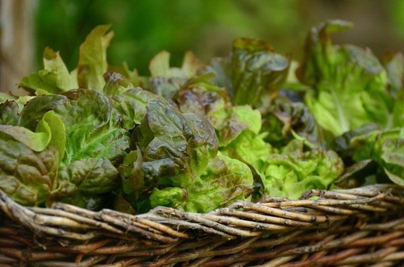 growing lettuce, lettuce varieties, types of lettuce, lettuces, oak lettuce, flashy oak lettuce