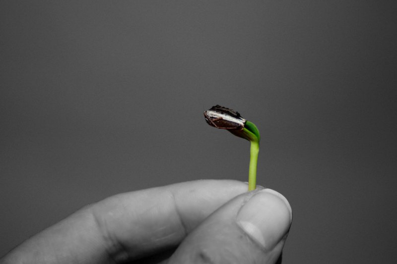 sunflower microgreens, sunflower sprouts, how to sprout sunflower seeds, growing sunflower sprouts