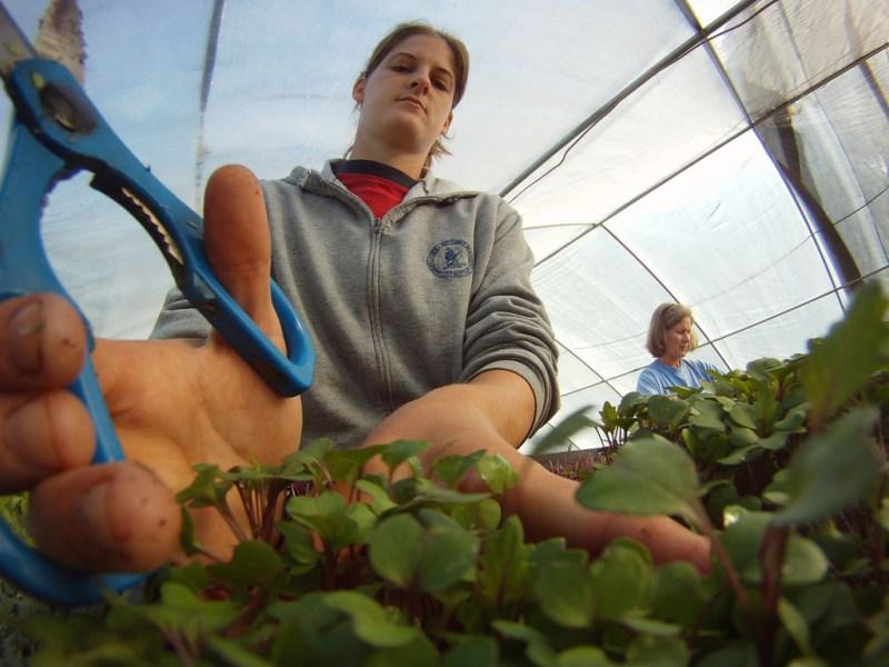 sunflower microgreens, harvesting sunflower microgreens, harvesting sunflower sprouts