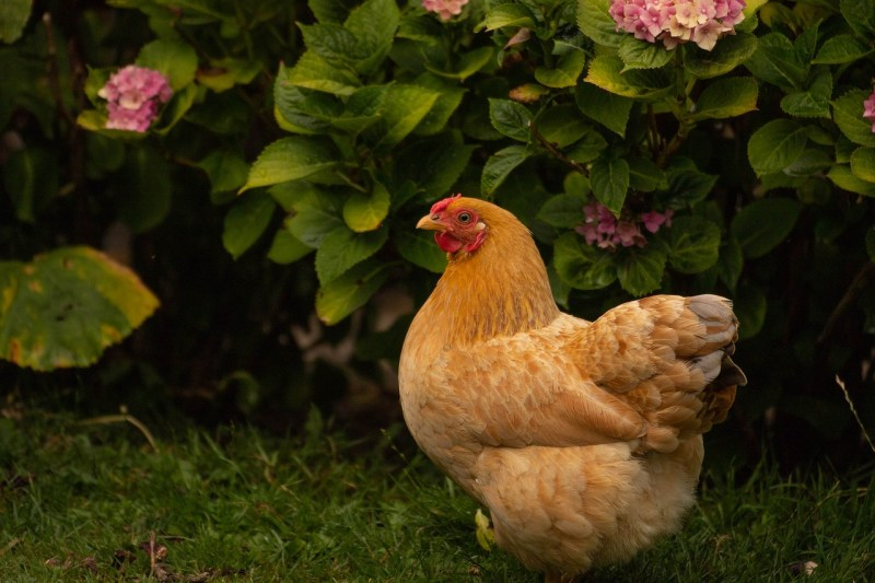 best egg-laying chickens, best egg-laying hens, egg-laying chickens, Buff Orpington, buff orpington chickens