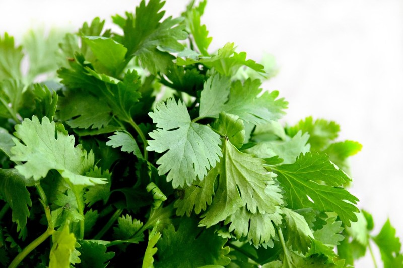 herbs that grow in the shade, herbs for shady areas, shade herbs, growing herbs in shade, grow herbs in shade, cilantro, coriander
