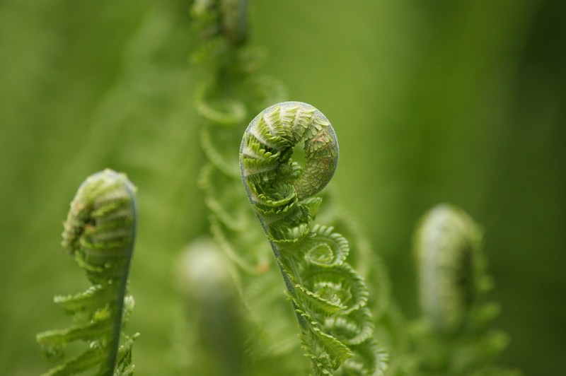 Fiddlehead greens