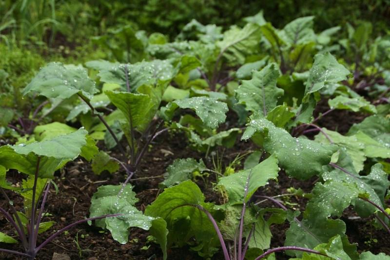 Abundance Kale