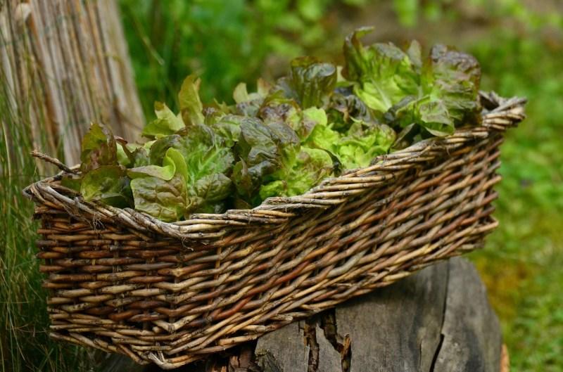 Lettuce growing in a window box